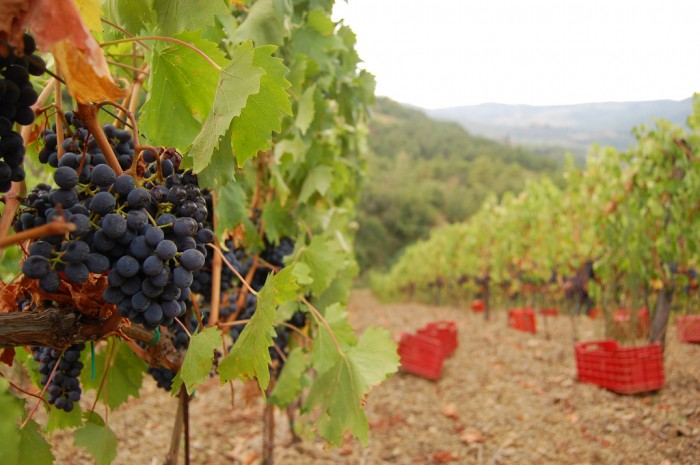 A grape harvesting experience in Chianti